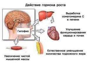 действие гормона роста
